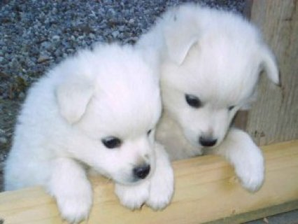 Purebred Siberian Husky Puppies Ready for Christmas