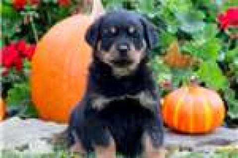 Two Rottweilers puppies for adoption.