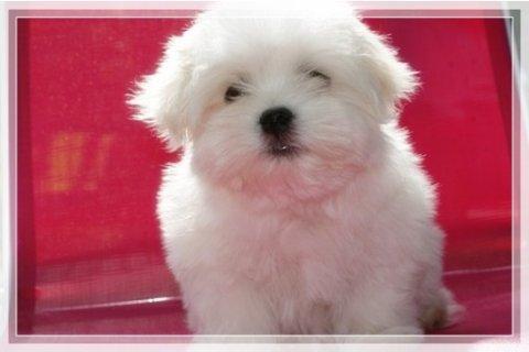 Cheap Maltese Pups for Sale