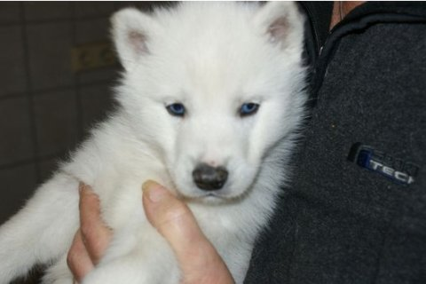 well trained siberian husky puppies ready now for Free