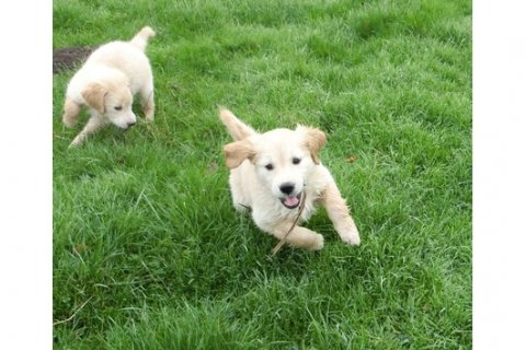 goldine ret puppies available
