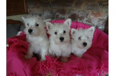 west higt puppies for sale