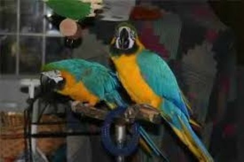 صور Hyacinth Macaws for Adoption 1