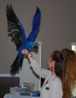 صور Hyacinth Macaw for Adoption 1