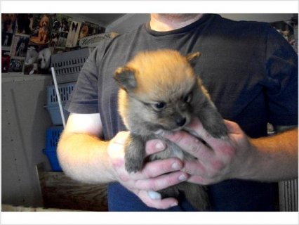 Ckc pomeranian puppies