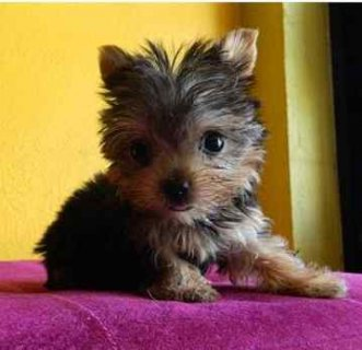 صور Outstanding male and Female Teacup Yorkie Puppies available 1