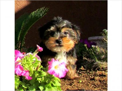 Cute Lovely teacup yorkie for free adoption