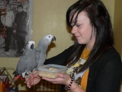 Congo African Grey Parrots for Adoption