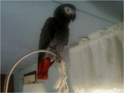 African Grey Parrot for Adoption