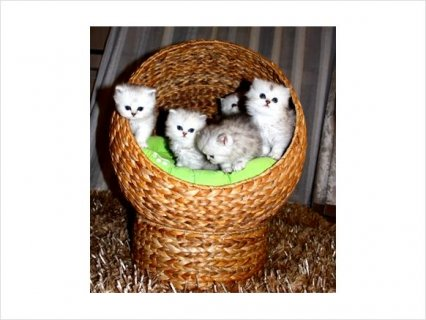 Cfa Registered Persian Kittens with Pedigree