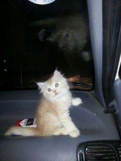 للبيع قطه شيرازي امريكي عمرها شهرين ونصف ..