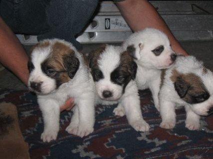 33A.K.C. Saint Bernard Puppies