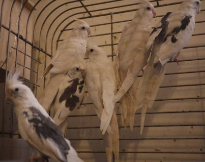 ADULT WHITE FACE COCKATIELS (MALE & FEMALE)