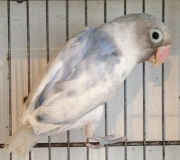 SPLIT TO ALBINO MALE VIOLET PIED FISHER LOVEBIRD