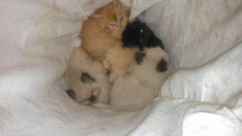 CFA Registered Kittens