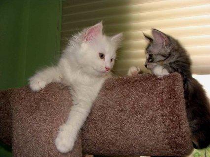 Siberian kittens-White color w/blue, green,amber eyes!!! - Pleas