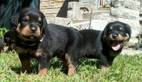 Large German Rottweiler puppies for sale