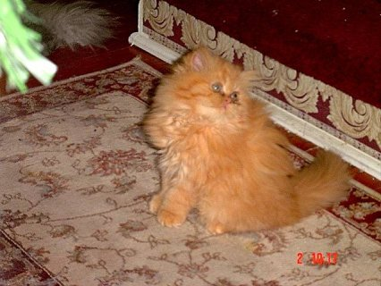 Persian-Himalayan kitten CFA Reg.