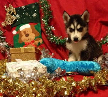 AKC~Health Tested Parents~Siberian Husky Puppies