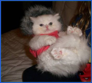 PERSIAN KITTENS FOR SALE! SOLID WHITE DOLLFACE MALES & ONE TORTI
