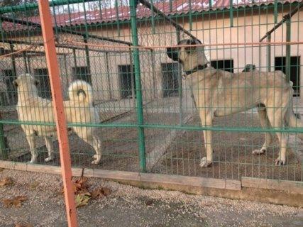 جراء كانغال التركي الراعي