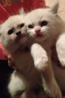 RAGDOLL-Beautiful Ragdoll kittens--Rehoming)