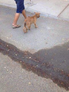 كلب اميريكان شيبرد للبيع