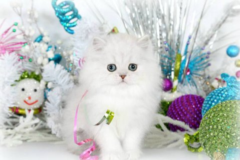 Teacup Persian Kttens for Sale989