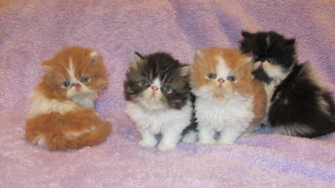 BEAUTIFUL PERSIANS KITTENS, 10 WEEKS OLD.READY FOR CHRISTMAS45