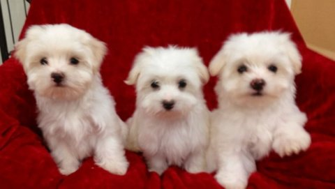 Beautiful Maltese Puppies For Xmas