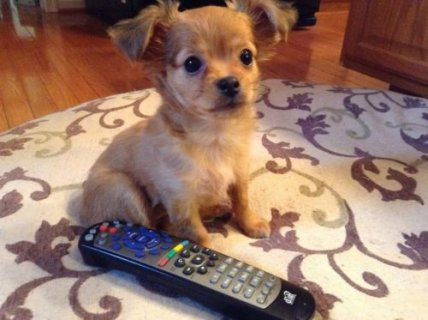Baby Chihuahua is ready to spend the holidays with a loving fami