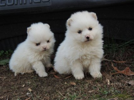 Male Toy American Eskimo Dog