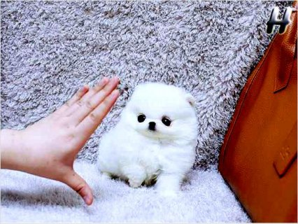 Super Tiny Teacup AKC Toy Pomeranian puppies available