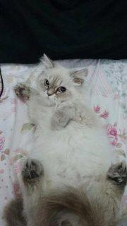 قطط الهملايا شوكلت بلو