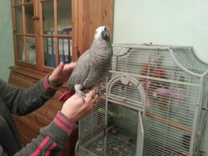 Feather Perfect African Gray Parrot
