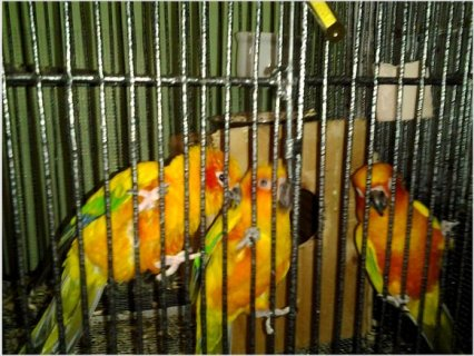 3 Sun Conures and Brand New Cage