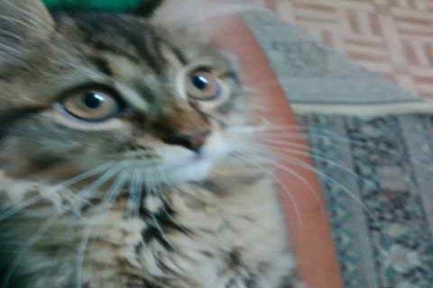 قطة جميلة للبيع في جدة