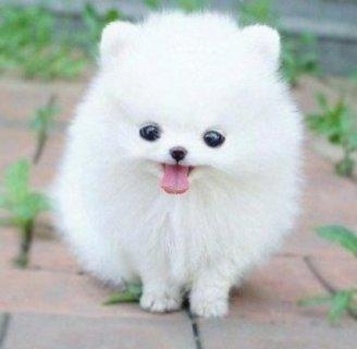 Fantastic Teacup Pomeranian Pups