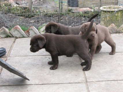 Healthy Labradors Available