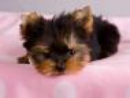 Healthy yorkie puppies need a home free