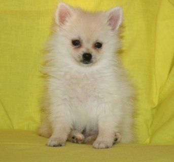 Pomeranian Puppies both sex Male& Female