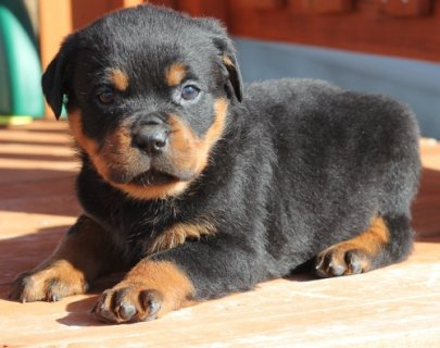 Lovely German Rottweiler Puppies for adoption