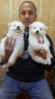 كلاب سامويد للبيع