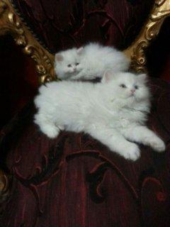 مجموعة قطط شيرازى عمر 45يوم مون فيس وهاف بيكى للبيع