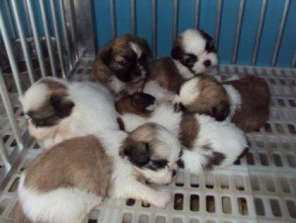 Cute Shih Tzu Puppies for Adoption