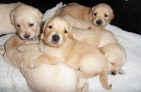 Quality Golden Retriever Puppies3