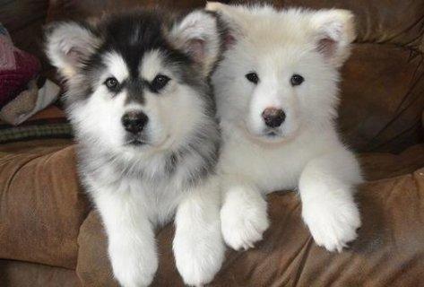 Alaskan Malamute puppies for adoption6