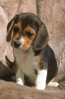 Beagle puppies for Adoption86