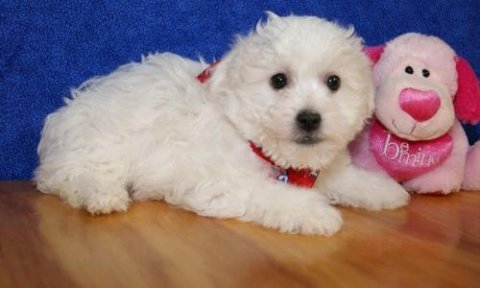 Bichon Frise puppies ready to go home7
