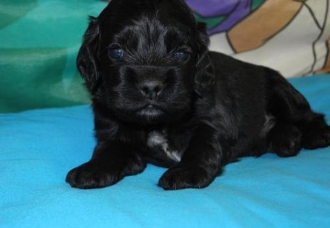 Male and Female Cocker Spaniel ready to go home	798
